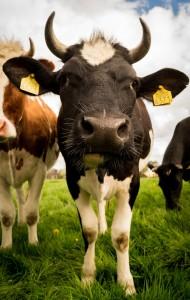 livestock-384628_1280
