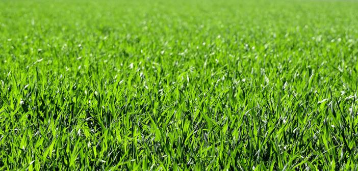 Managing a St Augustine Lawn