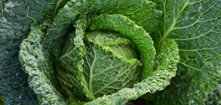 Cabbage- A Good Option for Our Gardens